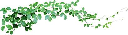 Ornamental vine leaves